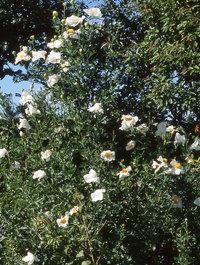 Romneya-bush