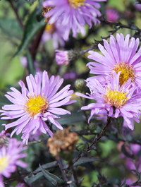 Aster-glow-in-the-dark1
