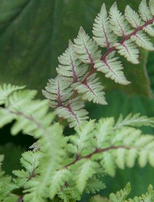 Athyrium nipponicum 'Ursula's Red'