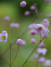 Thalictrum-splendide1