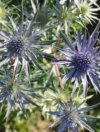 Eryngium-violetta2