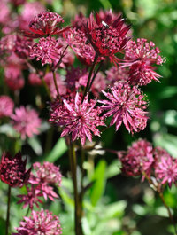 Astrantia-ruby-star5