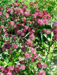 Astrantia-ruby-star6