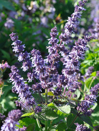 Salvia-verticillata-hannays-blue7