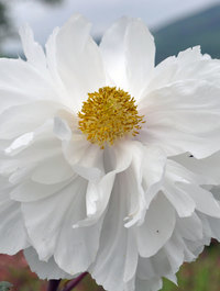 Peony 'Tamasudare' ('Jewelled Screen')