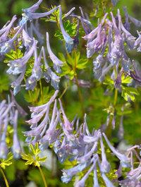 Corydalis-flexuosa