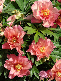 Peony-magical-mystery-tour5