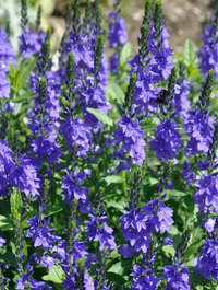 Veronica 'Shirley Blue'