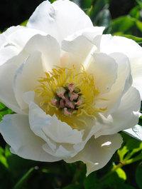 Peony-white-emporer