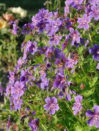 Geranium-ibericum1