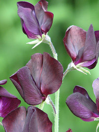 Sweet Pea 'Almost Black'