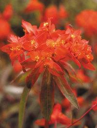Euphorbia-dixter