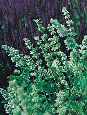 Salvia verticillata 'Alba'