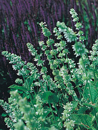 Salvia-vert-alba