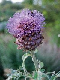 Cynara-flower