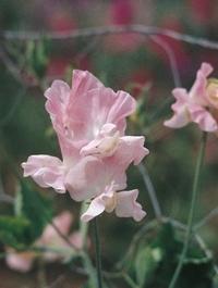Sweet pea 'Geranium Pink Improved'