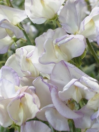 Sweet pea 'Kings High Scent'