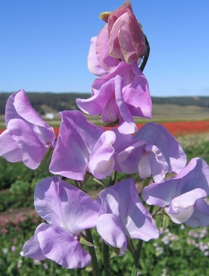 Sweet pea 'Leamington'