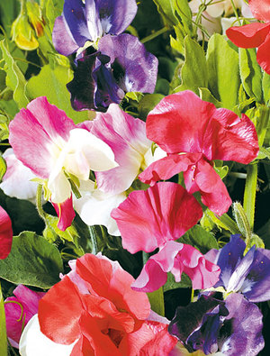 Sweet pea 'Little Sweetheart'