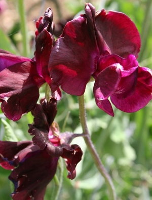 Sweet pea 'Midnight'