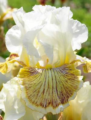 Iris 'Spring Madness'
