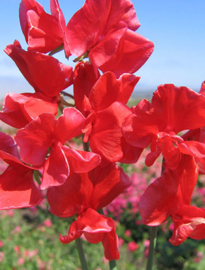 Sweet pea 'Red Ensign'