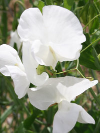 Sweet pea 'Swan Lake'