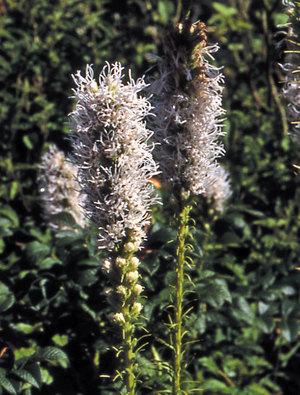 Liatris spicata 'Alba'