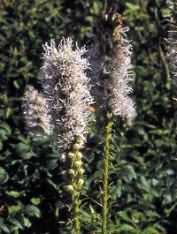 Liatris-spicata-alba