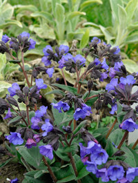 Pulmonaria-blue-ensign-w-stachys-prim-her