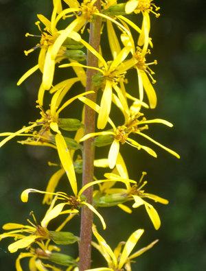Ligularia wilsononiana