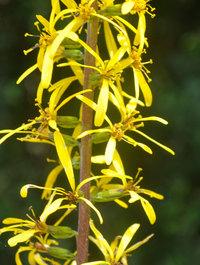 Ligularia-hodgersii1