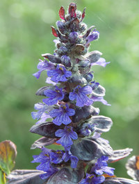Ajuga-black-scallop1