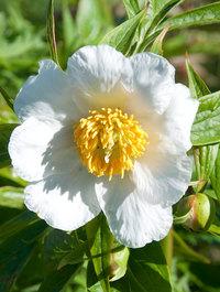 Peony 'Late Windflower'