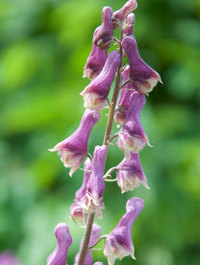 Aconitum-purple-sparrow1