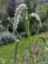 Sanguisorba tenufolia 'All Time High'