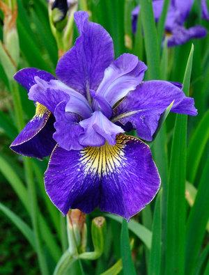 Iris 'Peter Hewitt'