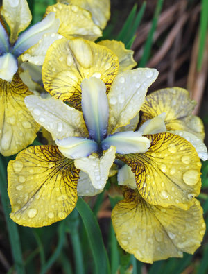 Iris 'Here Be Dragons'