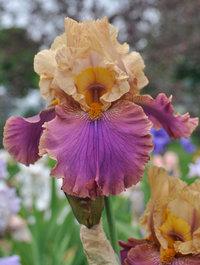 Iris-twice-as-nice