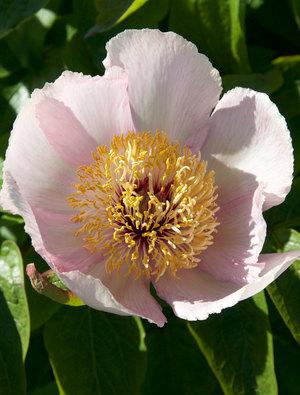 Peony wittmanniana rosea