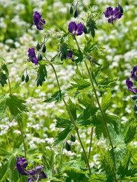 Geranium-phaeum-lily-lovell2