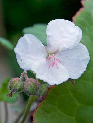 Geranium x cantabrigiense 'St. Ola'