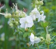 Geranium macrorrhizum 'White-Ness'
