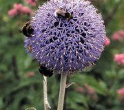 Echinops bannaticus 'Blue Globe'