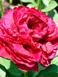 Peony 'Old Faithful'