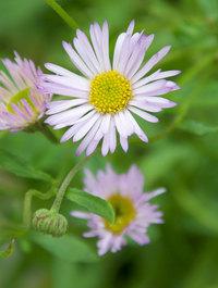 Erigeron-karvinskianus-lavender-lady