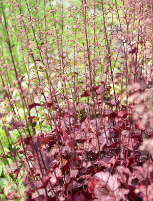 Heuchera 'Can Can'