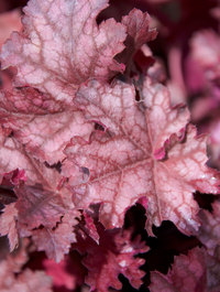 Heuchera-can-can2