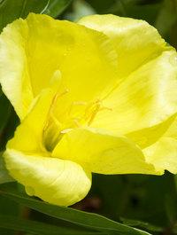 Oenothera-macrocarpa