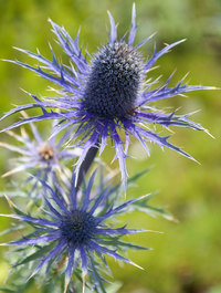 Eryngium-violetta4